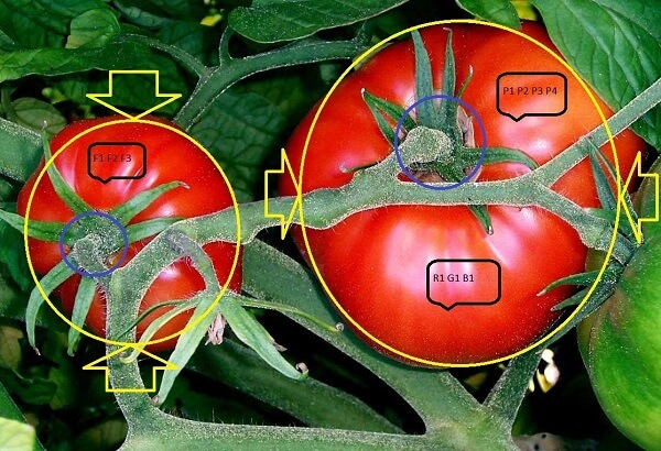 Tomatoes on the bush - phenotyping