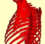 skeleton segmentation