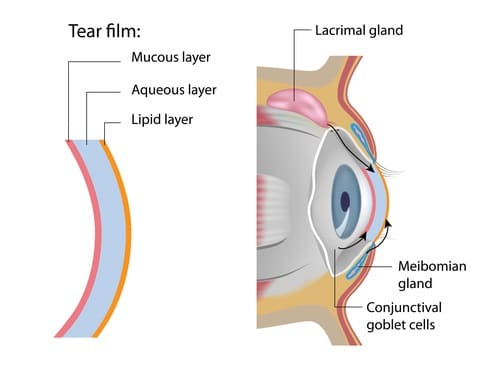 Tear film formation and meibomian glands
